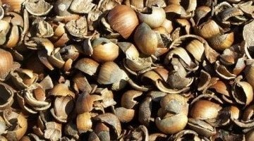 hazelnut shells