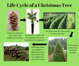 How Long Does It Take A Christmas Tree To Grow.Christmas Trees Oregon Agriculture In The Classroom