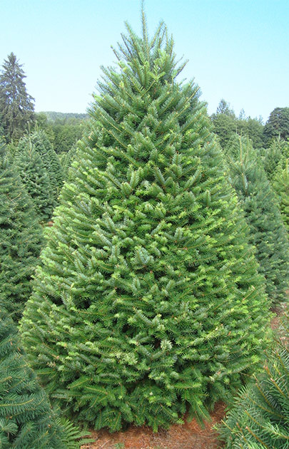How Long Does It Take To Grow A Christmas Tree.Christmas Trees Oregon Agriculture In The Classroom