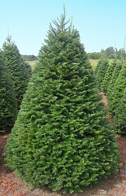 Oregon Christmas Trees.Christmas Trees Oregon Agriculture In The Classroom