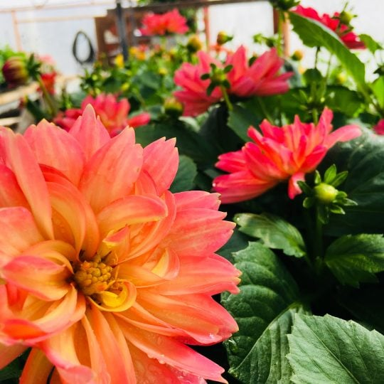 Dahlia's in a greenhouse